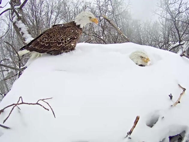 Bald Eagle Parents Get Buried By Snow While Incubating Eggs