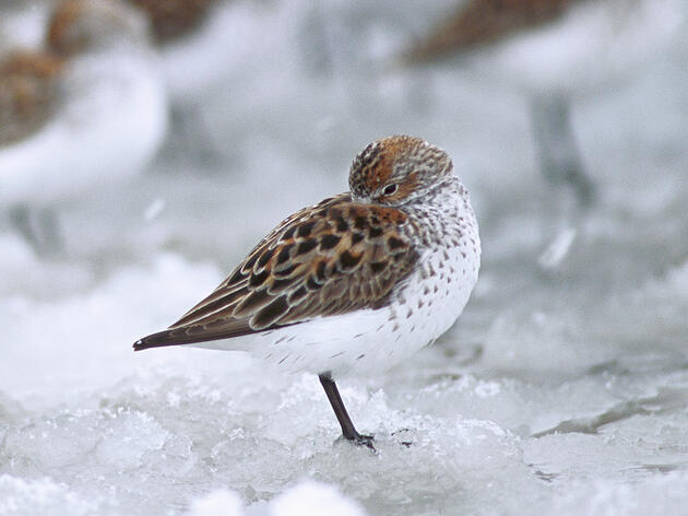 Shorebirds Experience Dismal Breeding Season Due to a Quirk of Climate Change