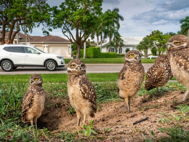 Burrowing Owls Are the Family Next Door in this Florida Boom Town
