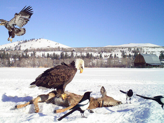 Montana Landowners Are Hooked on Luring Eagles with Deer Carcasses
