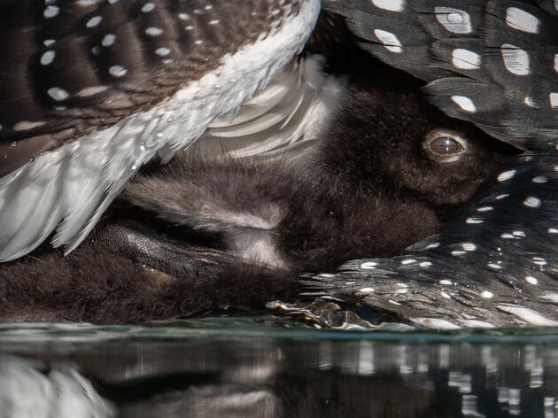 How a Photographer Snuck Under the Wing of a Loon Parent