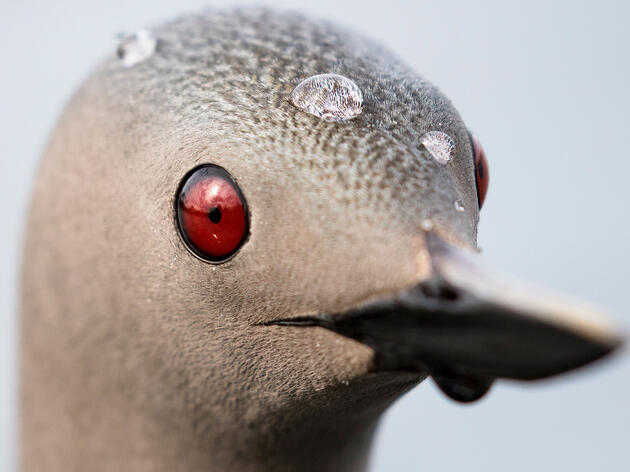 How One Photographer Got Up Close and Personal With a Curious Loon