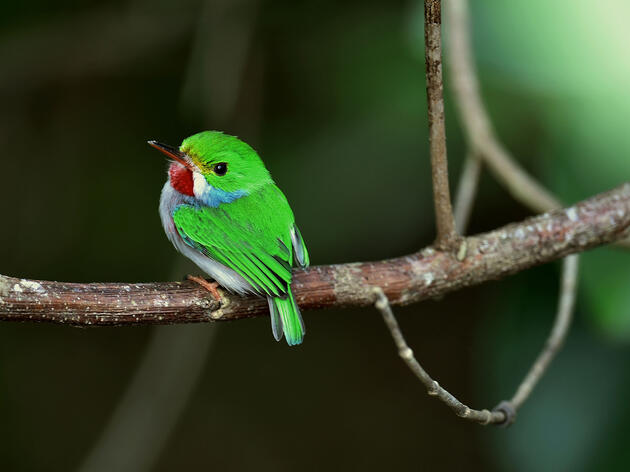 Hear the Staccato Call of the Tiny, Leaf-Green Cuban Tody