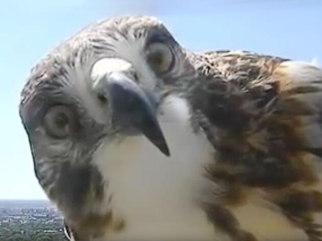 Today's Forecast: A Red-Tailed Hawk With a Major Chance of Cuteness