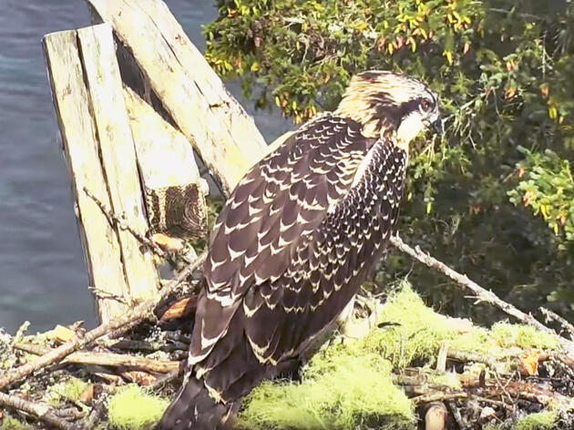 Why There Are No Ospreys at the Hog Island Nest Cam