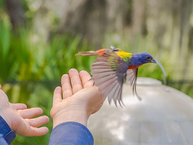 For All Their Splendor, We Still Know Little About Painted Bunting Migration