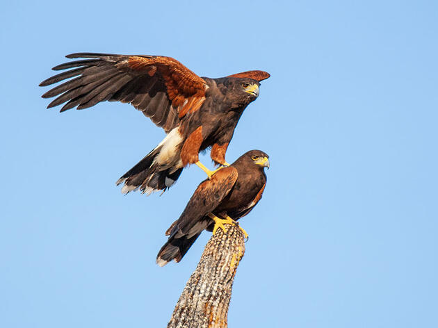 Harris's Hawks Hunt Like Wolves to Bring Down Dangerous Prey