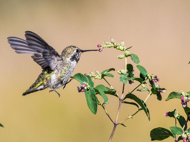 Anna's Hummingbirds Are Expanding Their Range With Human Help