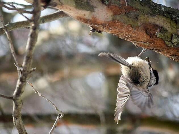 Hear that Hammering? Don't Assume It's a Woodpecker
