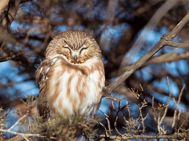 Can You Hear the Difference Between These Saw-whet Owl Calls?