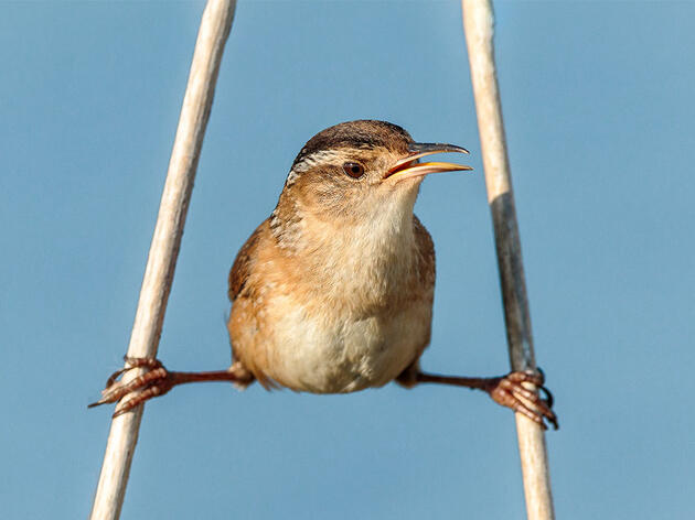 Birdist Rule #96: Know Which Wrens Live Near You