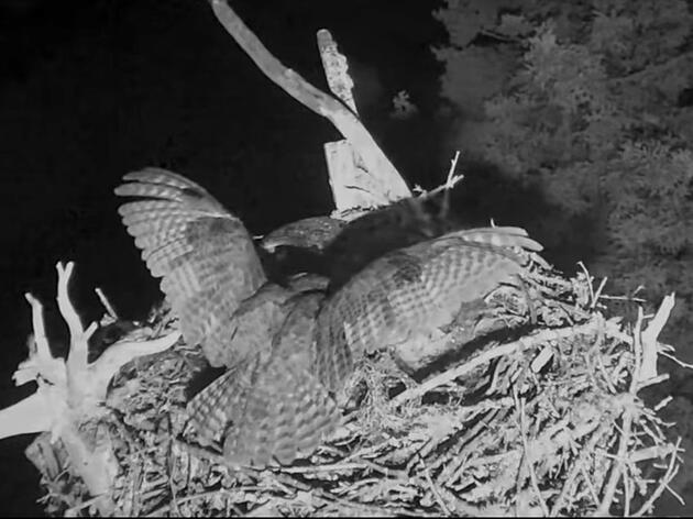 Great Horned Owl Takes Another Chick From Hog Island Osprey Nest