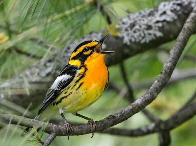 A Sneak Peek into Audubon's New Migratory Bird Initiative