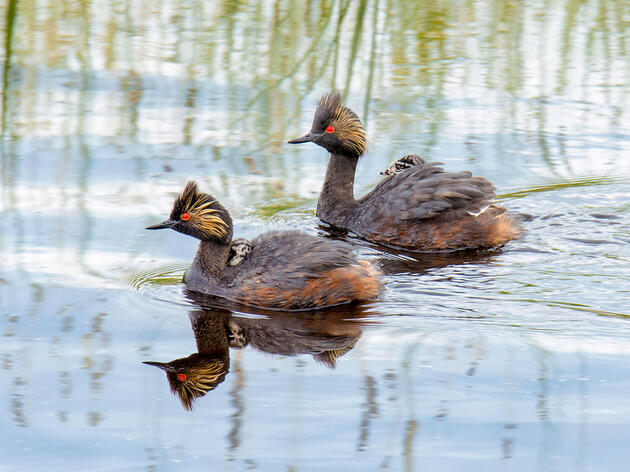 Dependence on Threatened Saline Lakes Leaves Eared Grebes at Risk