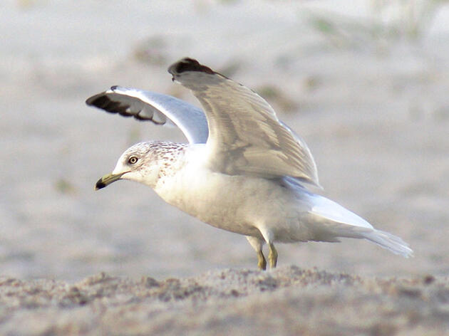 This New Guide Finally Simplifies Gull IDs