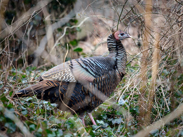 The Long, Surprising Journey of the Domestic Wild Turkey