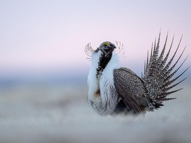 New Report Finds Increased Oil and Gas Leasing and Drilling in Priority Sage-Grouse Habitat