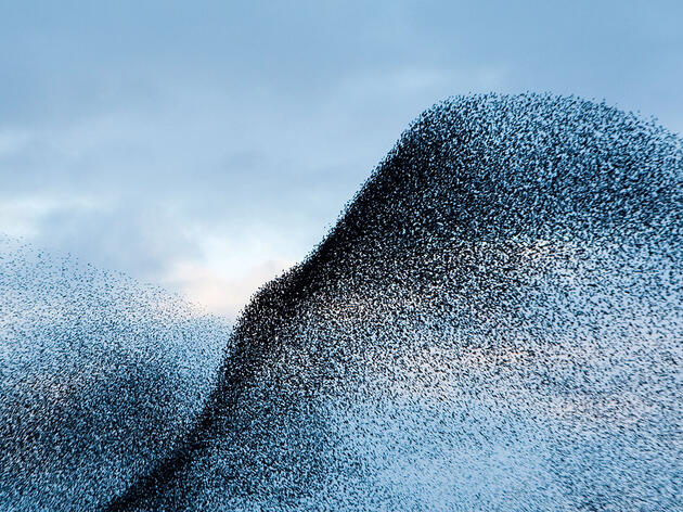 How Starlings Spoke for the Gods in Ancient Rome