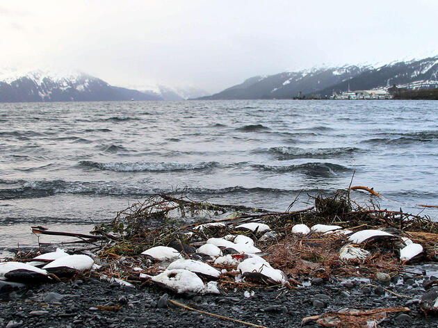 In Alaska, Starving Seabirds and Empty Colonies Signal a Broken Ecosystem