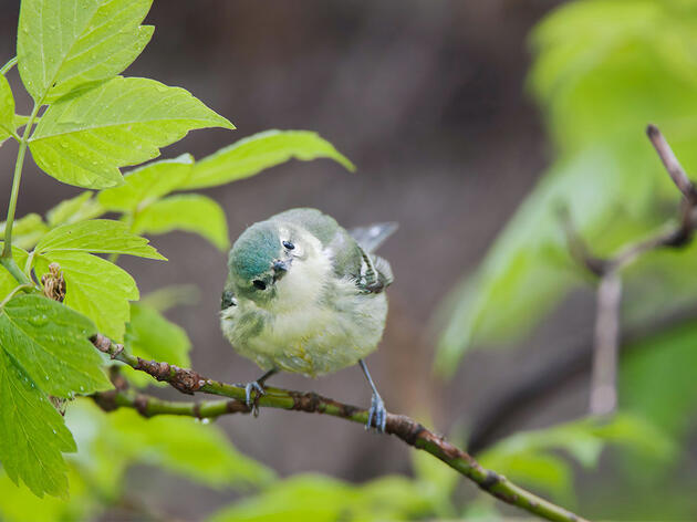 Female Cerulean Warblers Chirp Away at Birdsong Stereotypes