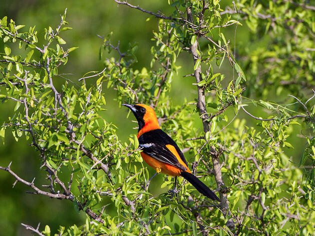 Five Regal Orioles That Put Other Fall Colors to Shame