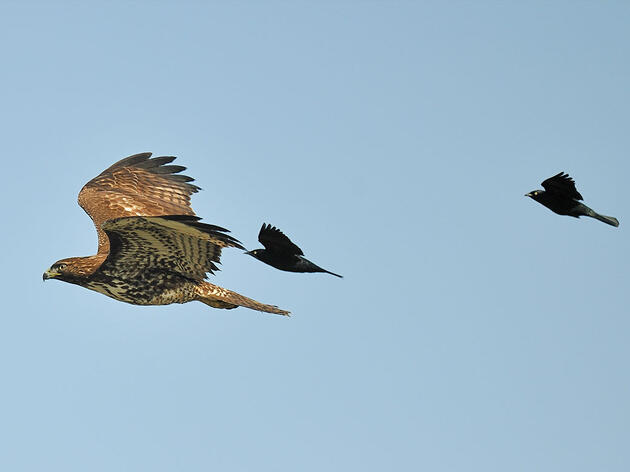 Mobbing: When Smaller Birds Join Forces to Fend Off Larger Birds