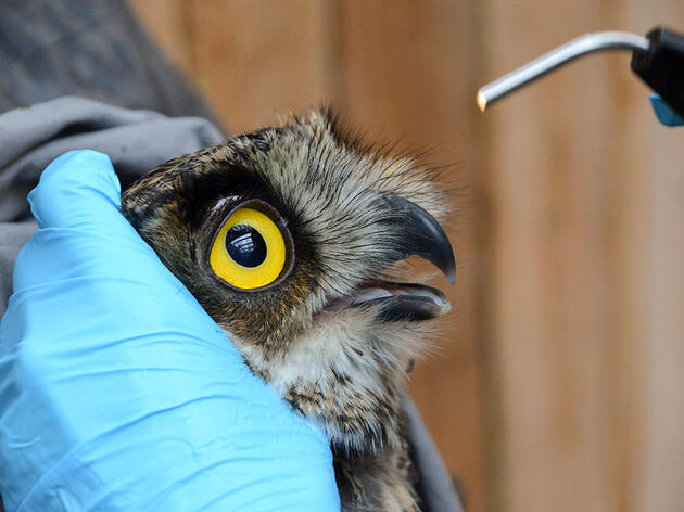The Incredible Story of a Great Horned Owl's Death-Defying Road Trip