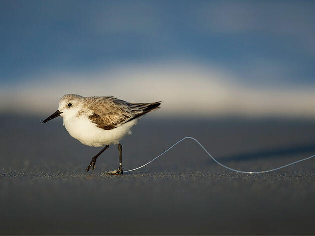 This Common Form of Plastic Pollution Is a Menace to Birds