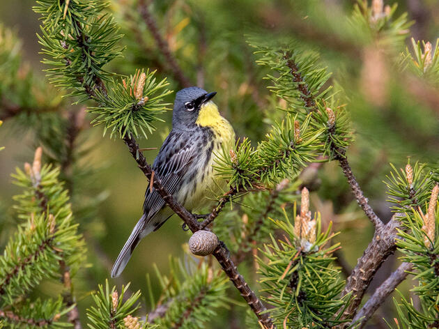 The Kirtland's Warbler Has Recovered, But the Hard Work of Saving It Will Never Stop