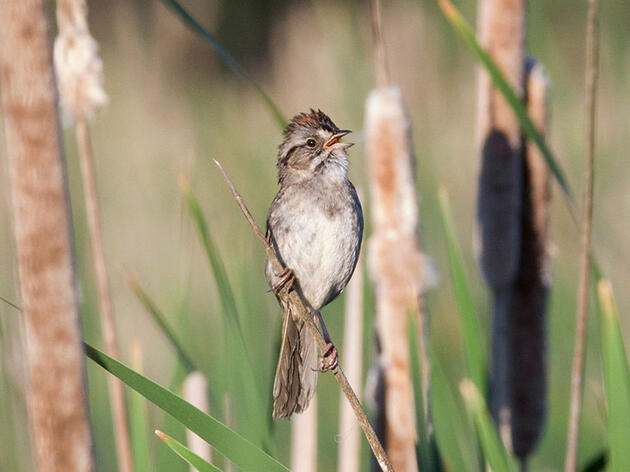 Swamp Sparrows Have Been Singing the Same Tune for Centuries