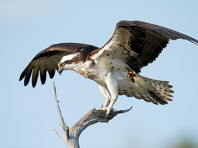 Now Resurgent, Ospreys Once Faced an Uncertain Future