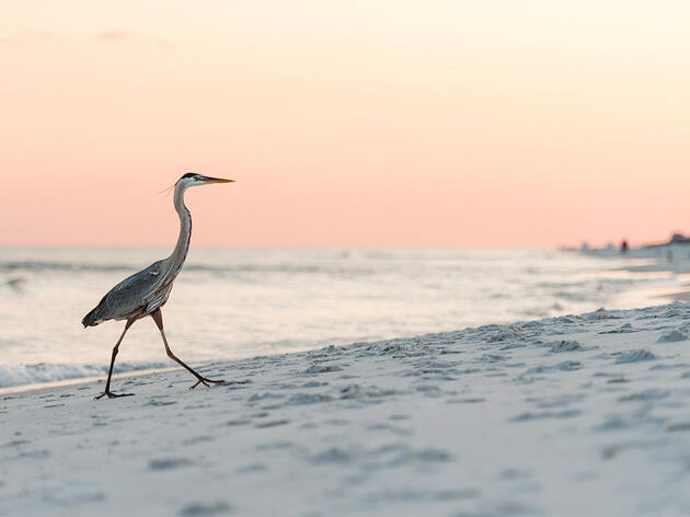 Great Blue Herons Need Alone Time, Too