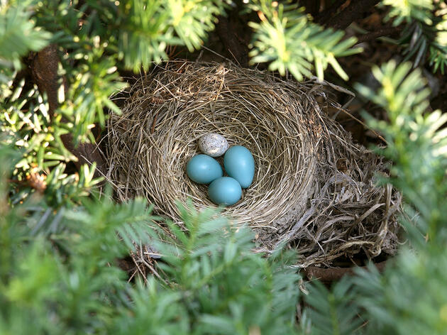 Is It Okay to Remove Cowbird Eggs From Host Nests?