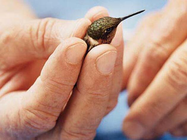 Banding Hummingbirds to Solve their Mysterious Ways