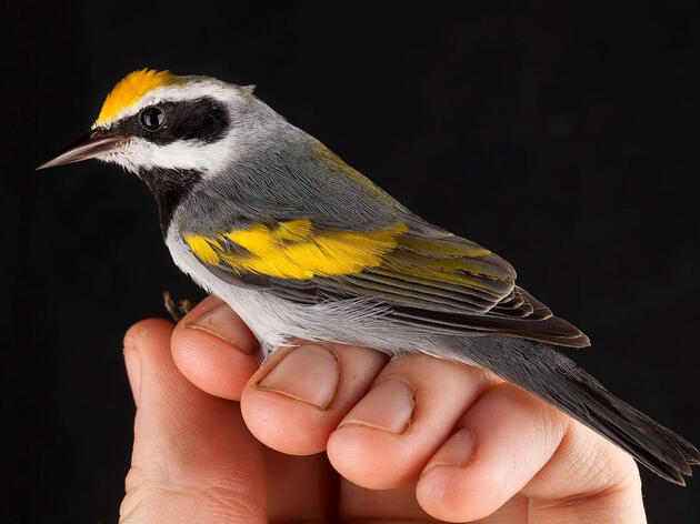 The Mystery of the Golden-winged Warbler's Decline Starts to Unravel