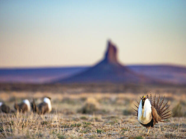 Greater Sage-Grouse Like You've Never Seen Them Before