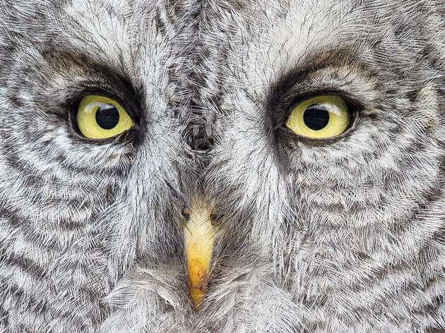 After 100 Years, Scientists Are Finally Starting to Understand the Mysterious Great Gray Owl