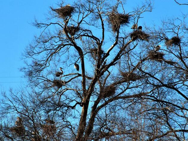 Audubon, Dominion Resources Launch Great Blue Heron Rookery Project in Richmond, VA