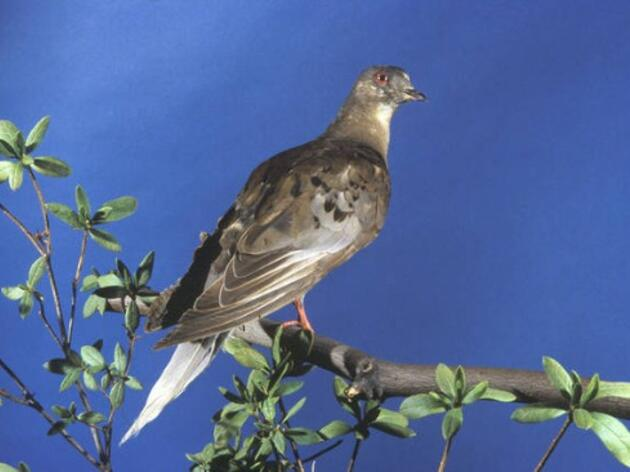 High Country Audubon Remembers Martha the Pigeon