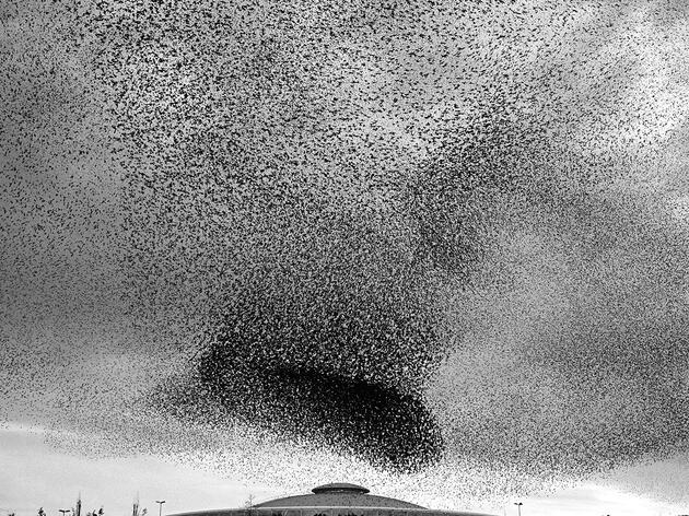What Makes Starlings Gather?