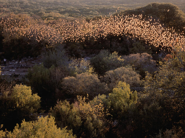 World's Largest Bat Colony Benefits Birds and Farms