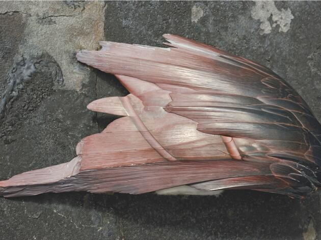 Faux Feathers: Incredible Hunk of Hematite Mimics Bird Wing