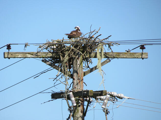 As Ospreys Recover, Their Nests Are Sparking Fires and Power Outages