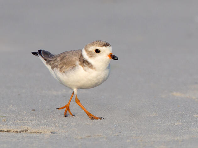 Cape Hatteras's Beach Birds