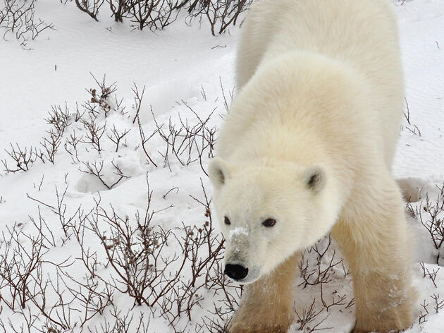 Follow Hudson Bay's Polar Bears Live [Web Cam]