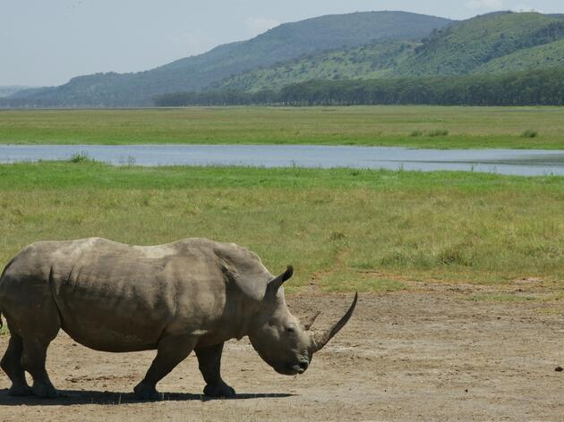 Kenya's Rhinos Receive Microchips to Deter Poaching