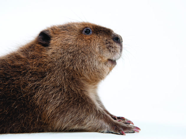 Beavers' Comeback Helps Restore Ecosystems