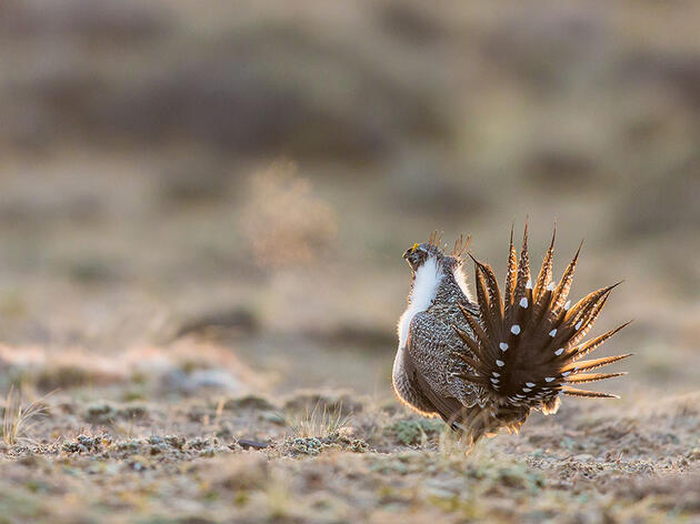 Proposed Budget Cuts Signal First Attack on Current Sage-Grouse Protection Plan