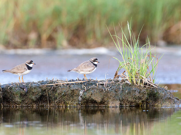How to Read the Tides for Shorebird Photography