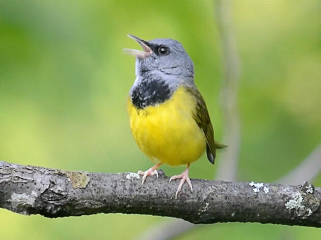 This Guy Is Mapping How Warblers Migrate, Just by Listening to Them Sing